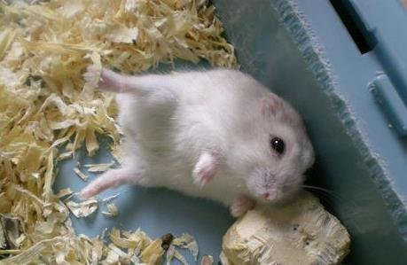仓鼠装死的原因以及应对方法